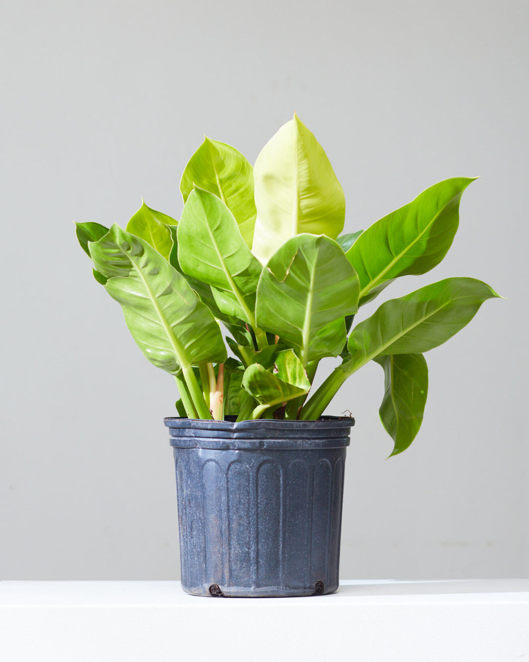"PHILODENDRON 'MOONLIGHT' 10"" Grower Pot"