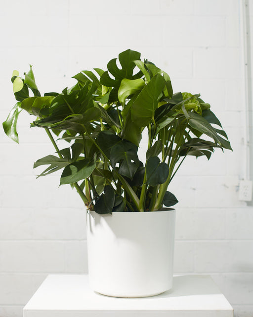 MONSTERA 14 Inch. Grower Pot