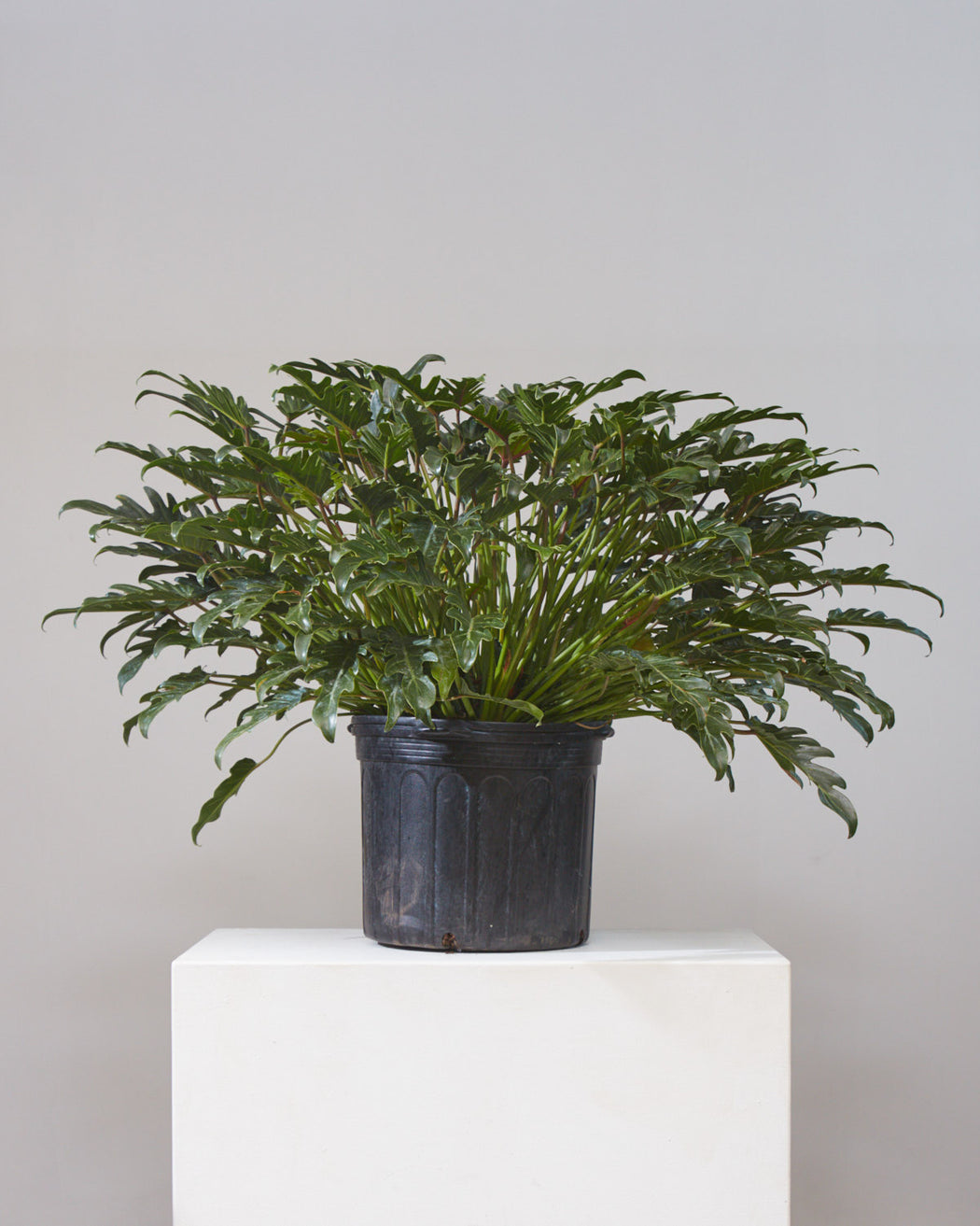 PHILODENDRON XANADU 14 Inch. Grower Pot