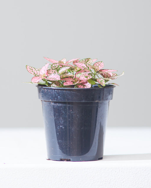 "POLKA DOT PLANT - PINK 4"" Grower Pot"