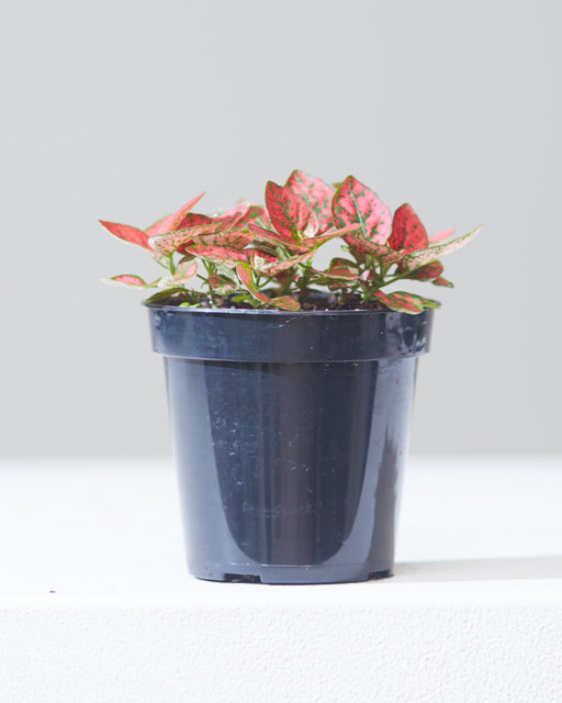 "POLKA DOT PLANT - RED 4"" Grower Pot"
