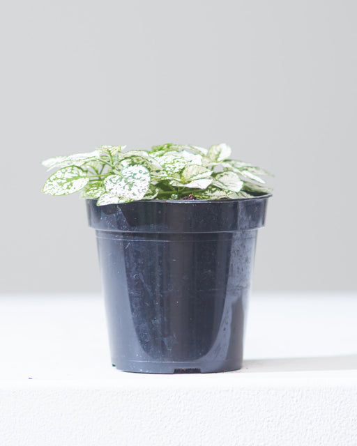 "POLKA DOT PLANT - WHITE 4"" Grower Pot"