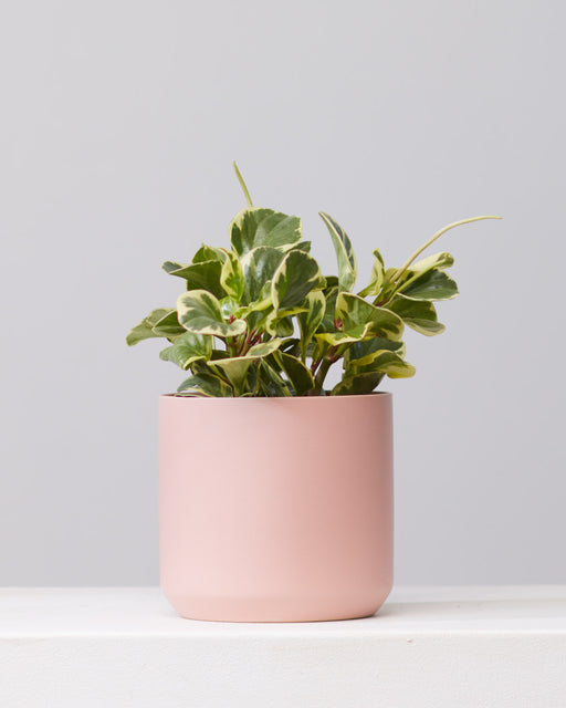 "PEPEROMIA OBSTUSIFOLIA 'GOLDEN GATE' 6"" Grower Pot"