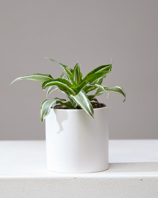 "DRACAENA 'MALAIKA' 4"" Grower Pot"
