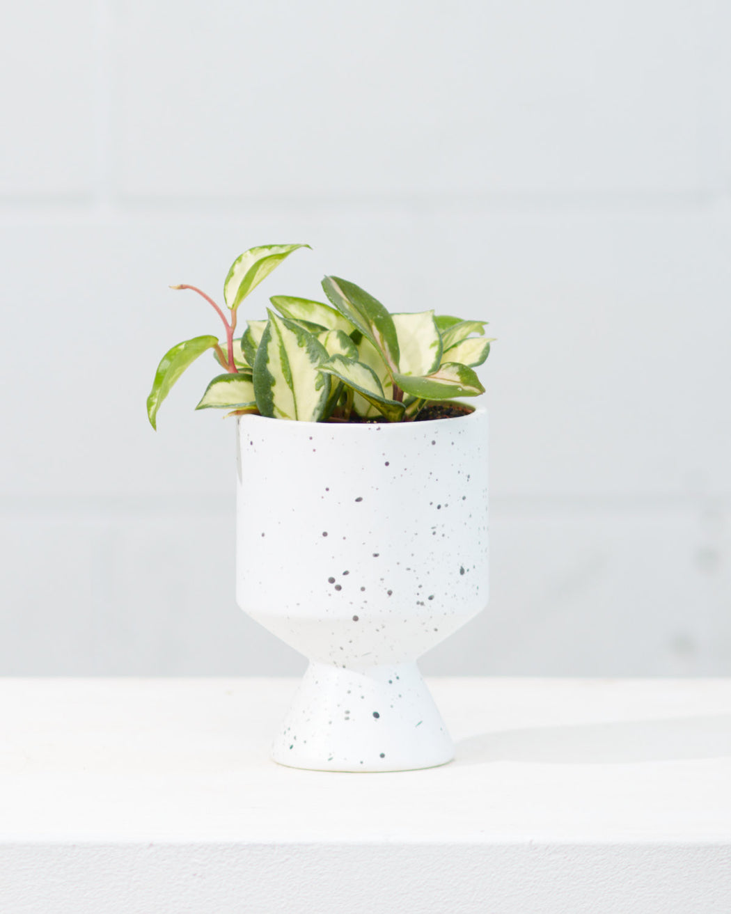 DE VIL PLANTER (WHITE SPECKLE) Small 4.5 Inch