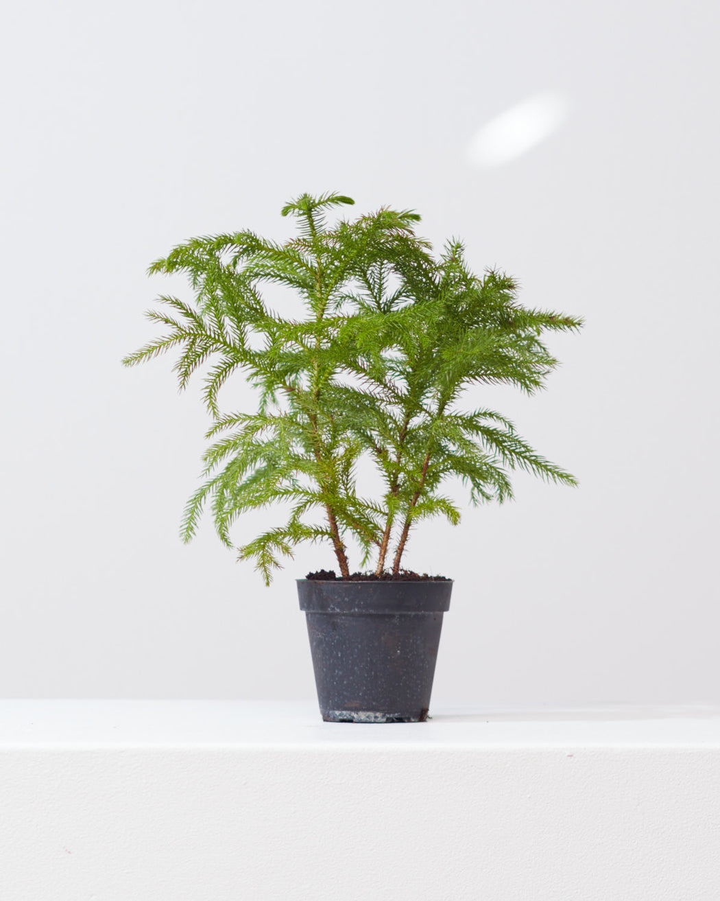 "NORFOLK ISLAND PINE 4"" Grower Pot"