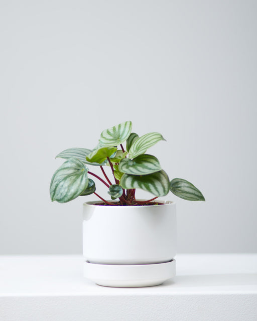 "PEPEROMIA 'WATERMELON' 3.5"" Grower Pot"