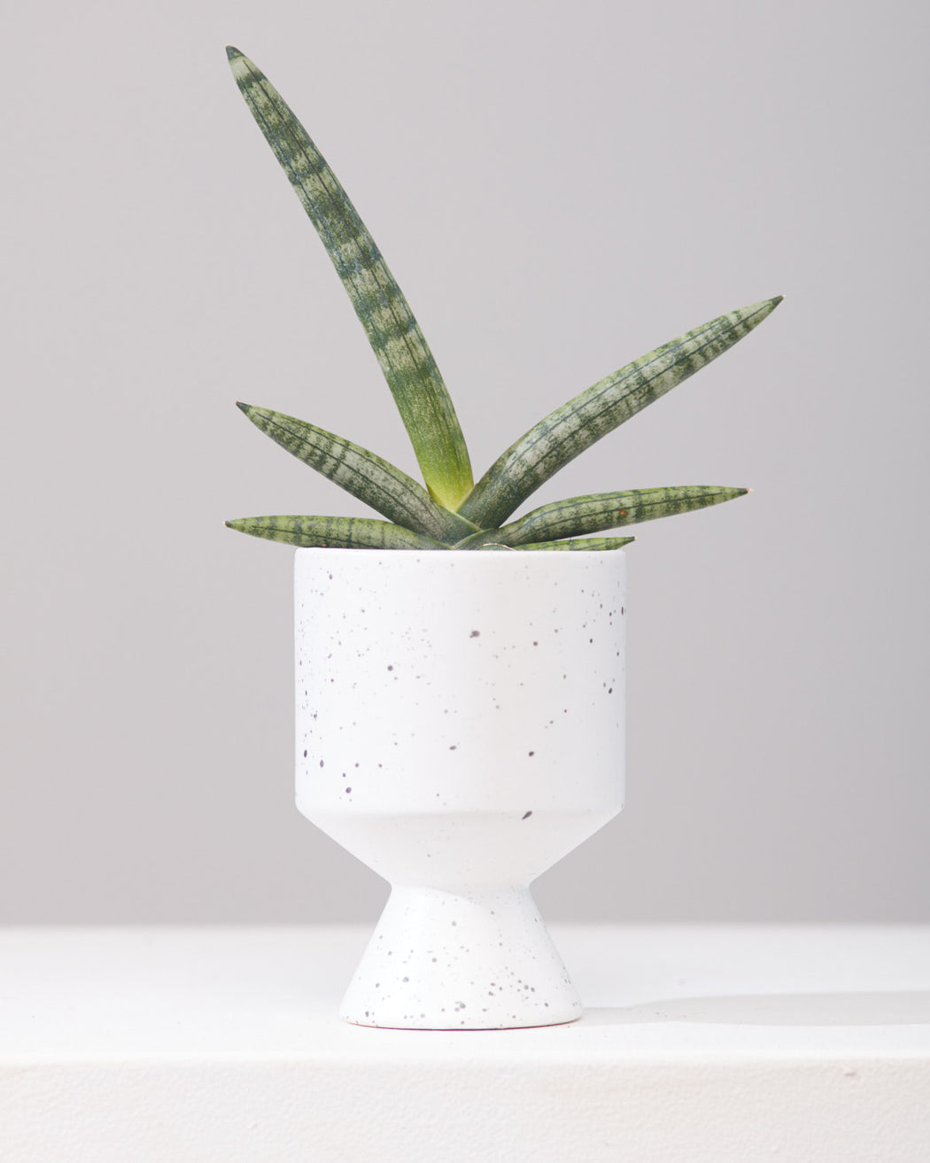 "SNAKE PLANT (SANSEVIERIA 'BONCELLENSIS' STARFISH) 4"" Grower Pot"