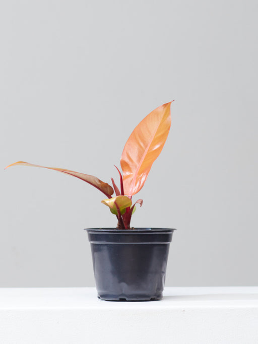 "PHILODENDRON 'PRINCE OF ORANGE' 6"" Grower Pot"