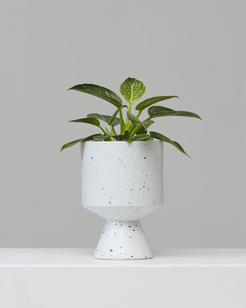 DE VIL PLANTER (WHITE SPECKLED) Small 6.5 Inch