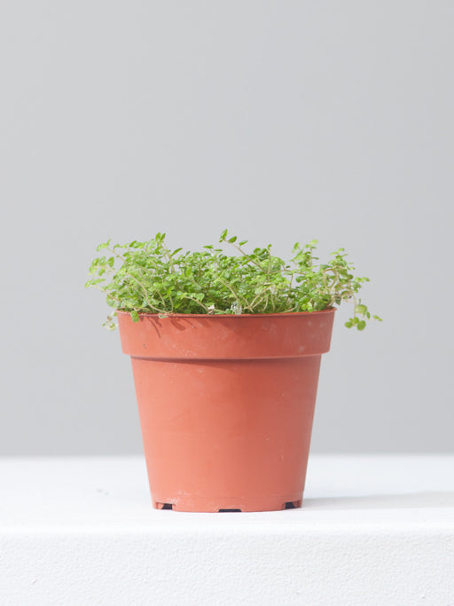 "SOLEIROLIA SOLEIROLII 'BABY'S TEARS' 4"" Grower Pot"