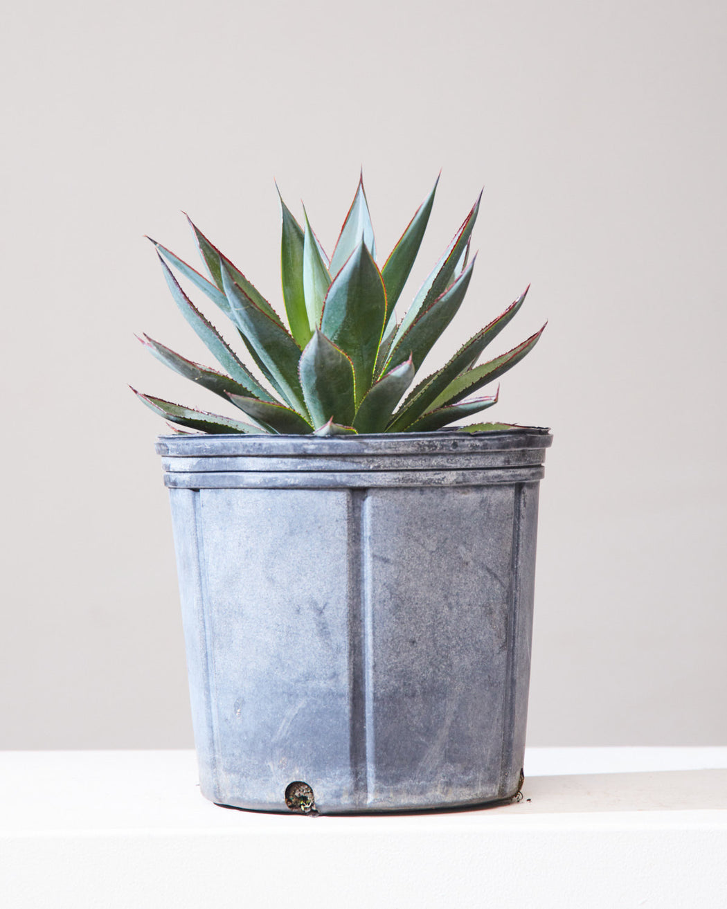 "AGAVE 'BLUE GLOW' 10"" Grower Pot"