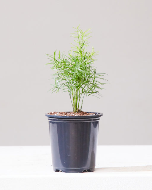 "ASPARAGUS FERN 3.5"" Grower Pot"