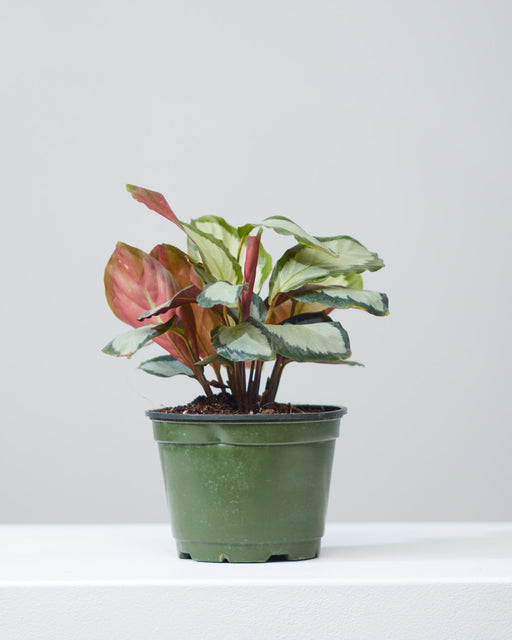 "CALATHEA 'ROYAL STANDARD' 6"" Grower Pot"