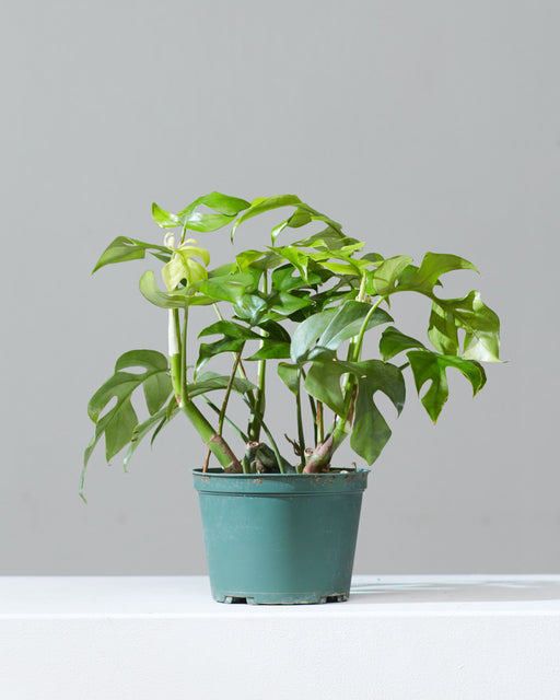 "PHILODENDRON RHAPHIDOPHORA TETRASPERMA 6"" Grower Pot"