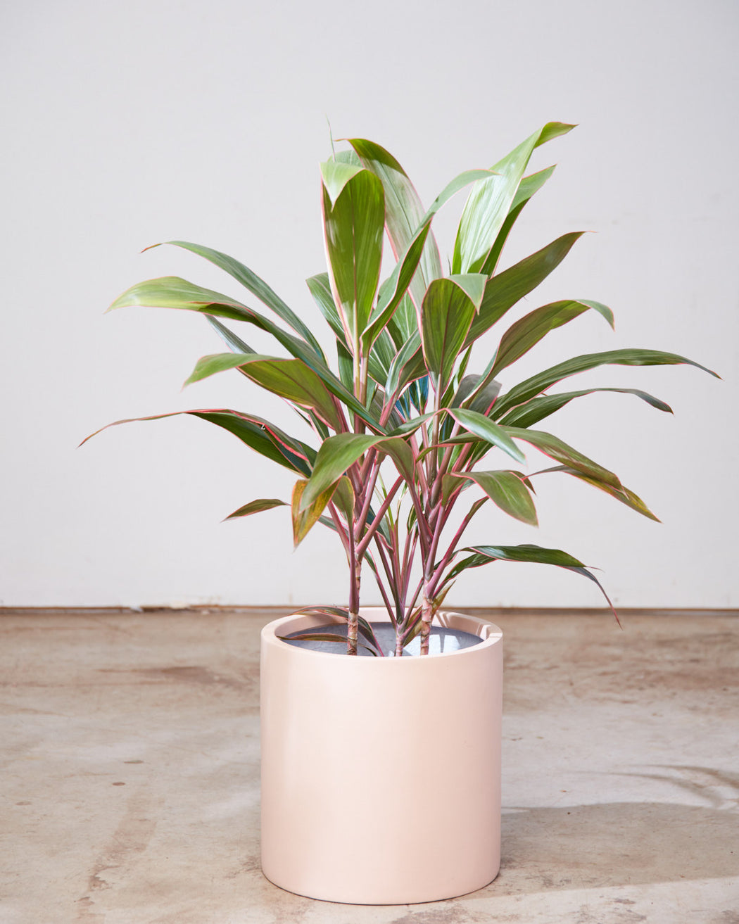 "CORDYLINE 'PINK DIAMOND' 10"" Grower Pot"