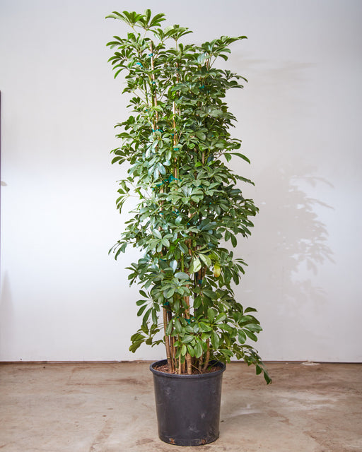 "SCHEFFLERA ARBORICOLA COLUMN 14"" Grower Pot (6 - 6.5 ft tall)"