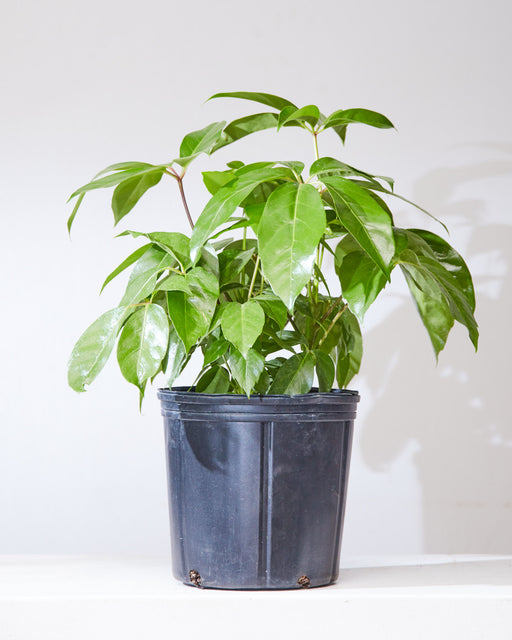 "SCHEFFLERA ALPINE 10"" Grower Pot (1.5-2 ft tall)"