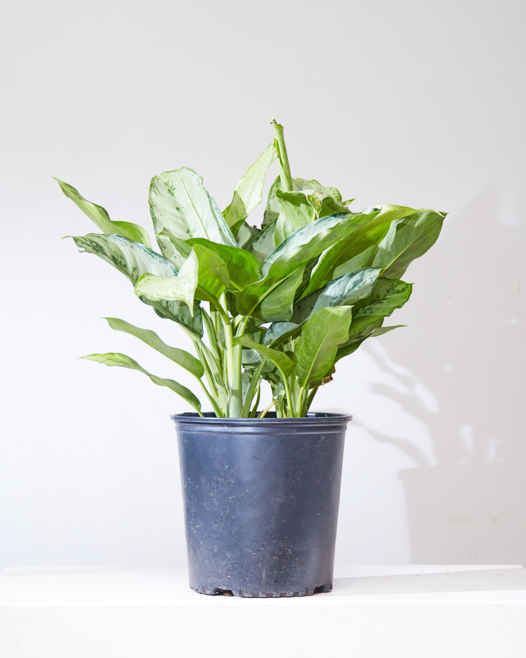 "AGLAONEMA 'BJ FREEMAN' 10"" Grower Pot"