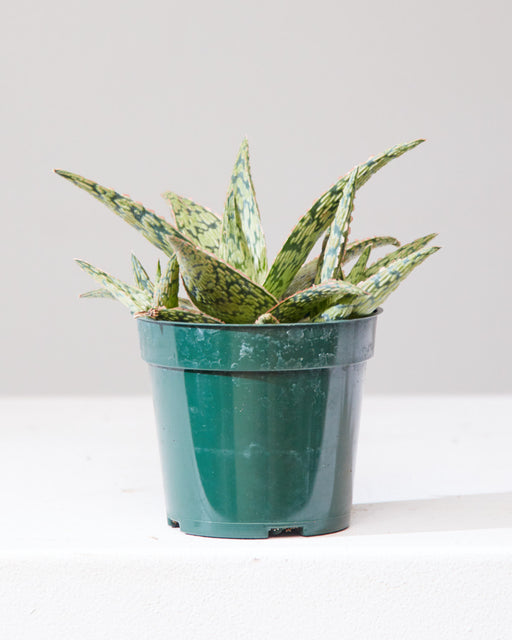 "ALOE 'PINK BLUSH' 4"" Grower Pot"
