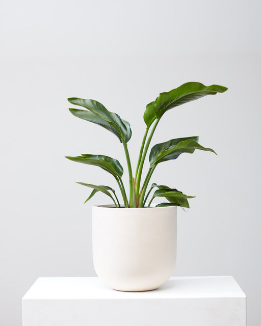 "'BIRD OF PARADISE' (STRELITZIA NICOLAI) 8"" Grower Pot (2.5-3ft tall)"