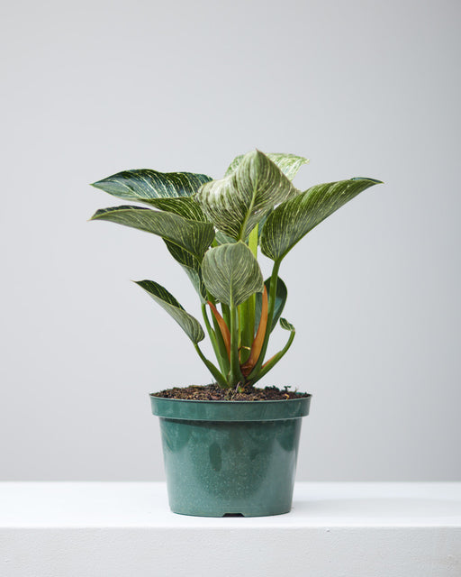 "PHILODENDRON BIRKIN 8"" Grower Pot"