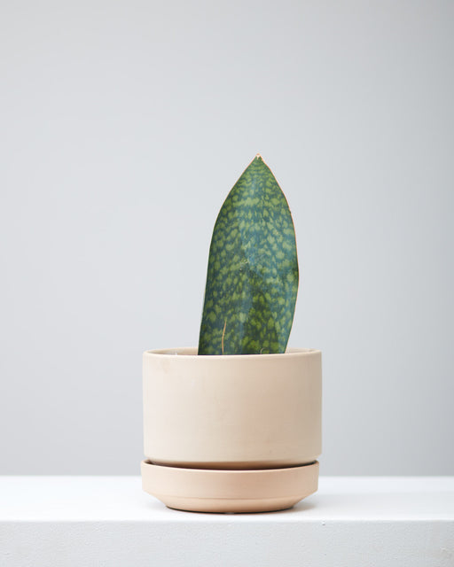 "SANSEVIERIA MASONIANA 'SHARK FIN' 8"" Grower Pot"
