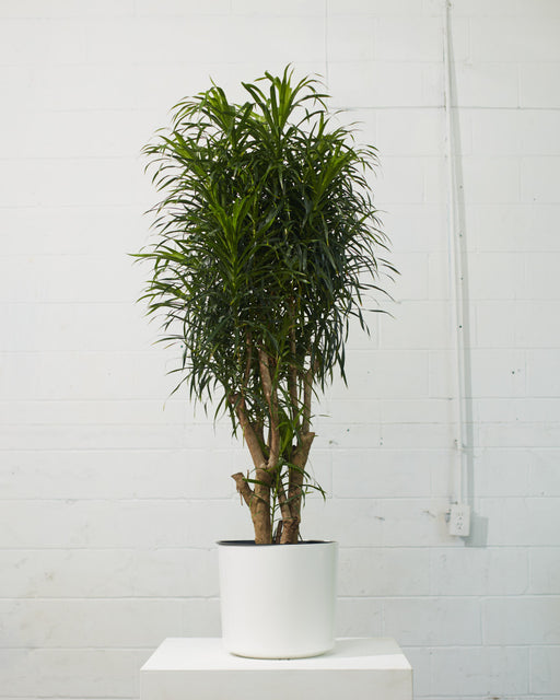 DRACAENA REFLEXA 'ANITA' 14 Inch. Grower Pot (5.5ft tall)