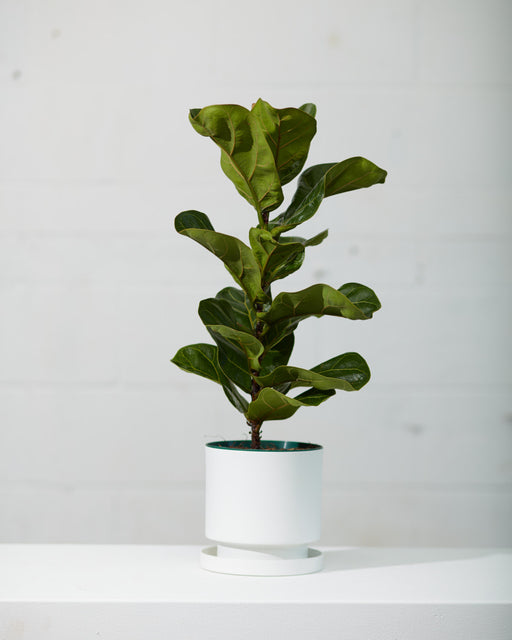 "FIDDLE-LEAF FIG (FICUS LYRATA BUSH) 6"" Grower Pot (16"" TALL)"
