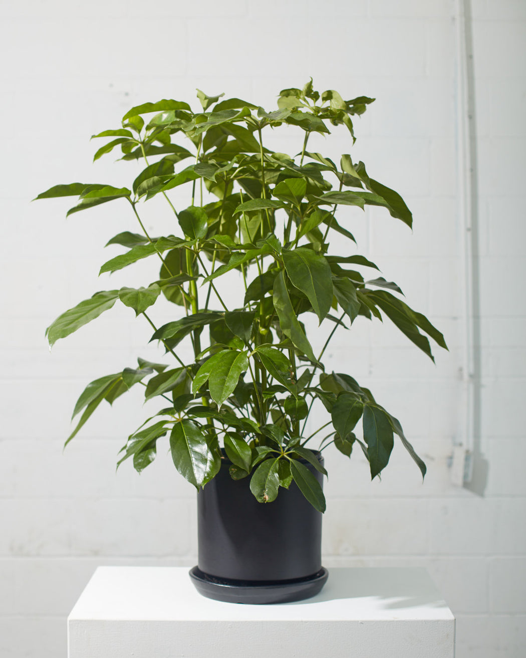 "SCHEFFLERA AMATE 10"" Grower Pot (2.5 - 3.5 ft tall)"