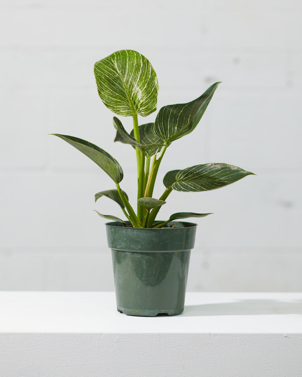 "PHILODENDRON BIRKIN 6"" Grower Pot"