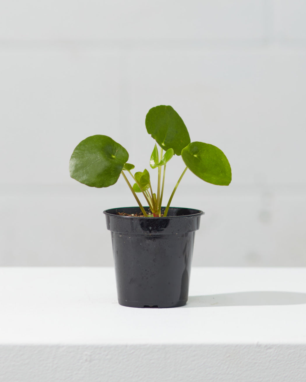 "PILEA PEPEROMIOIDES' 3.5"" Grower Pot"