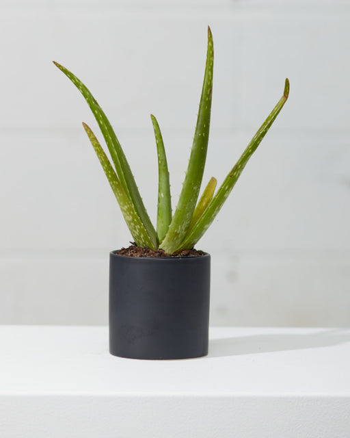 "ALOE VERA 4"" Grower Pot"