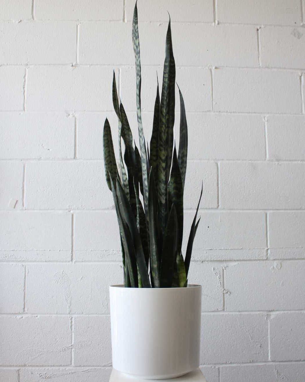 "SNAKE PLANT (SANSEVIERIA 'BLACK CORAL') 8"" Grower Pot"