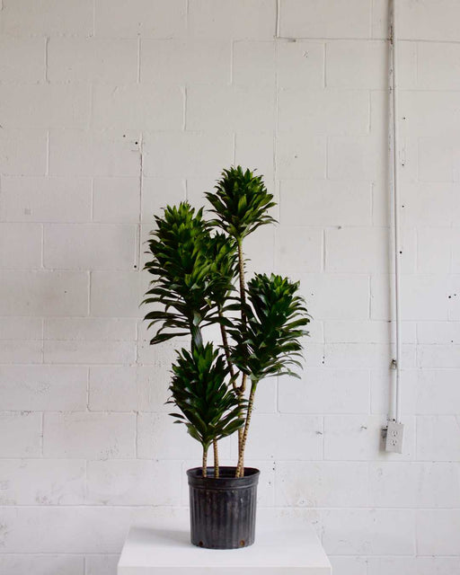 "DRACAENA JANET CRAIG COMPACTA 12"" Grower Pot (5ft tall)"