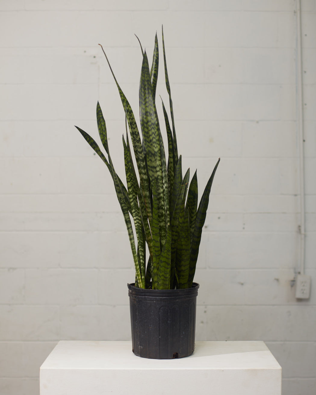 "SNAKE PLANT (SANSEVIERIA 'ZEYLANICA') 10"" Grower Pot (2.5-3' tall)"