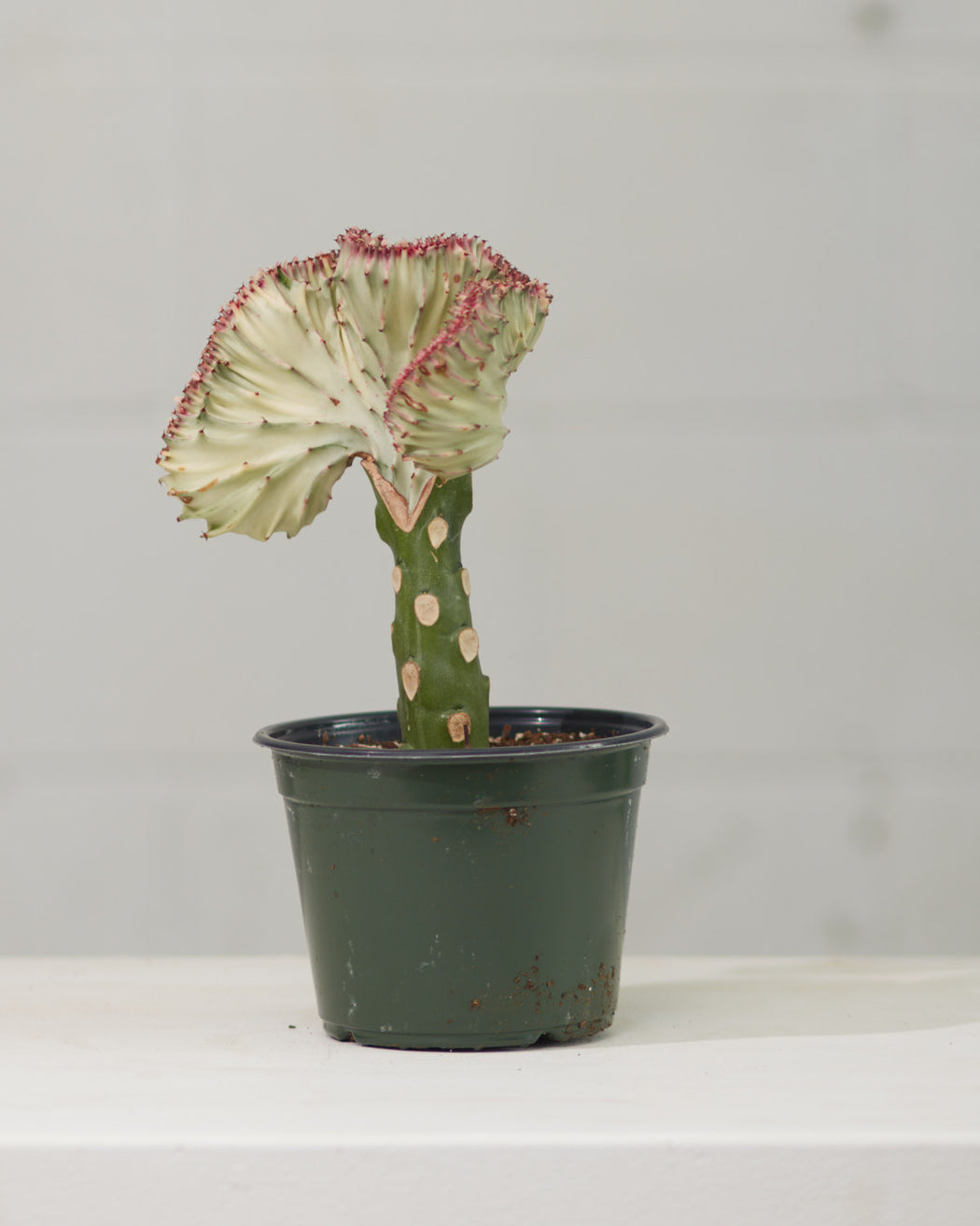 "EUPHORBIA LACTEA 'CORAL CACTUS' 6"" Grower Pot"