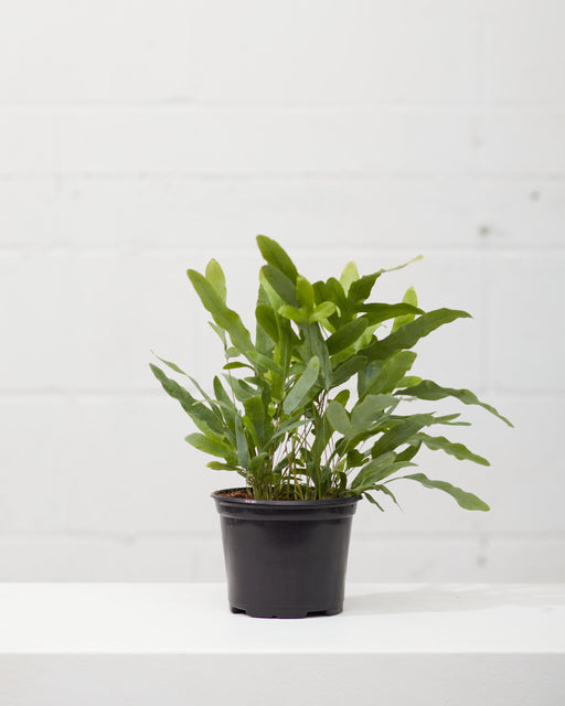 "BLUE STAR FERN 6"" Grower Pot"