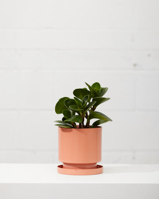 "PEPEROMIA OBSTUSIFOLIA 6"" Grower Pot"