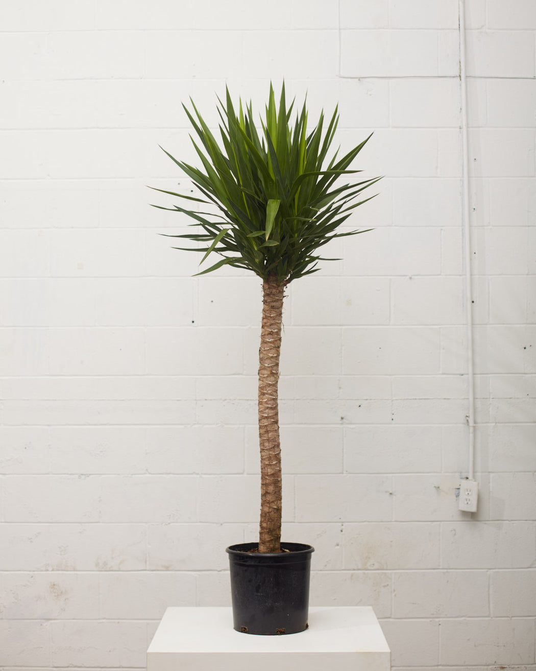 "DRACAENA YUCCA 12"" Grower Pot (6' tall)"