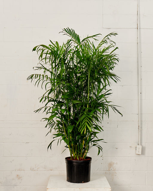PALM SEIFRIZII 'BAMBOO PALM' 14 Inch. Grower Pot (6.5' tall)