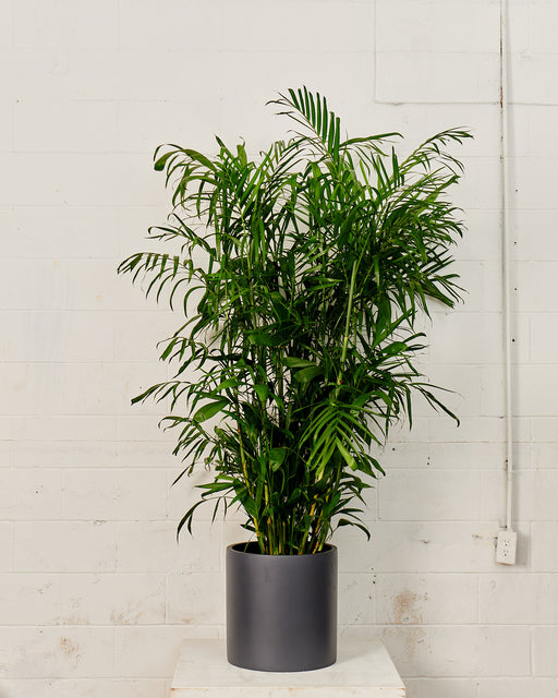 PALM SEIFRIZII 'BAMBOO PALM' 14 inch. Grower Pot (6.5 ft tall)