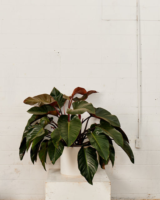 PHILODENDRON 'RED CONGO' 14 Inch. Grower Pot