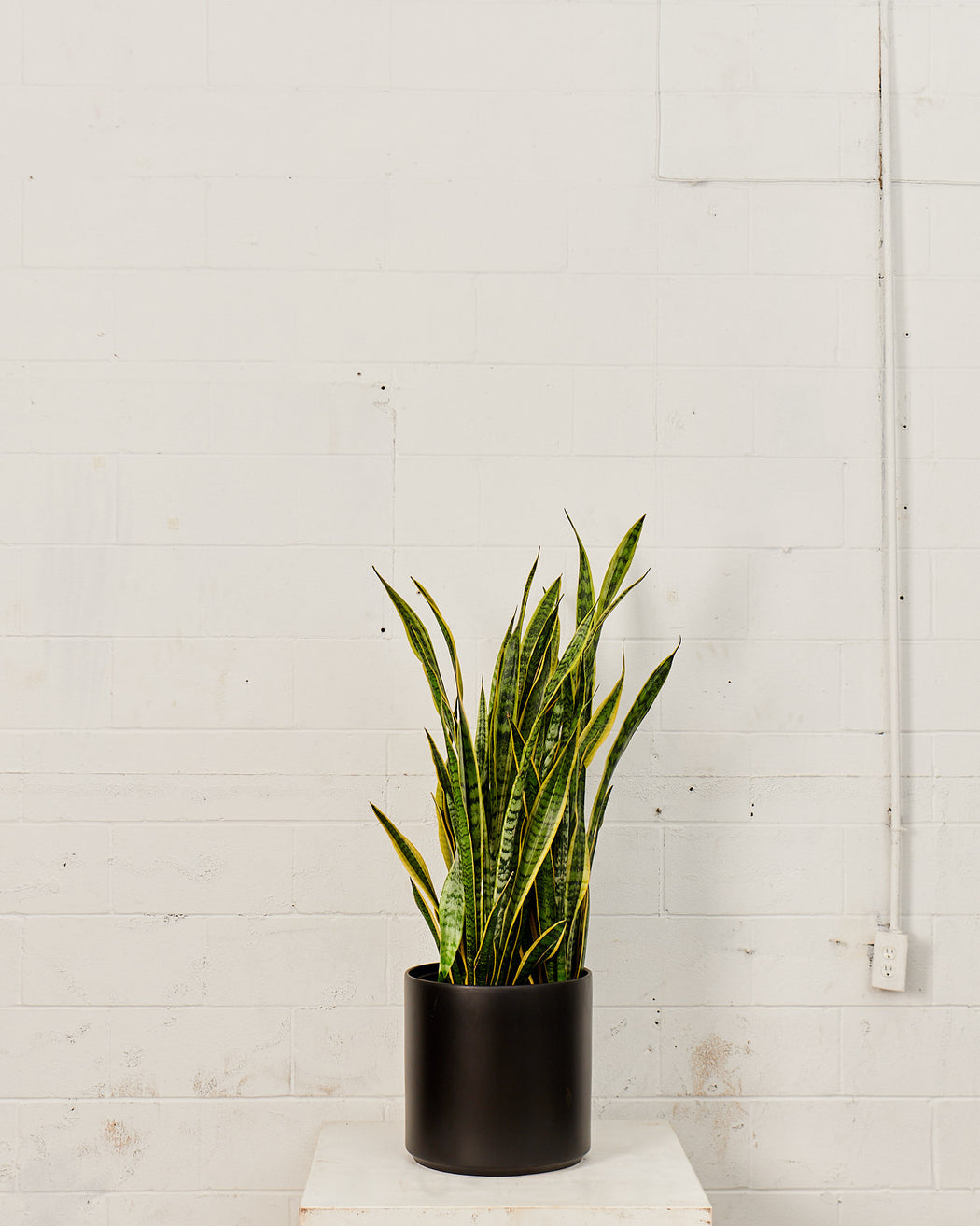 SNAKE PLANT (SANSEVIERIA 'LAURENTII') 14 Inch. Grower Pot