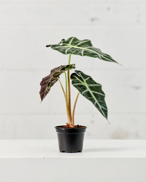 "ALOCASIA 'POLLY' 4"" Grower Pot"
