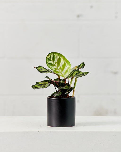 "CALATHEA MAKOYANA 4"" Grower Pot"