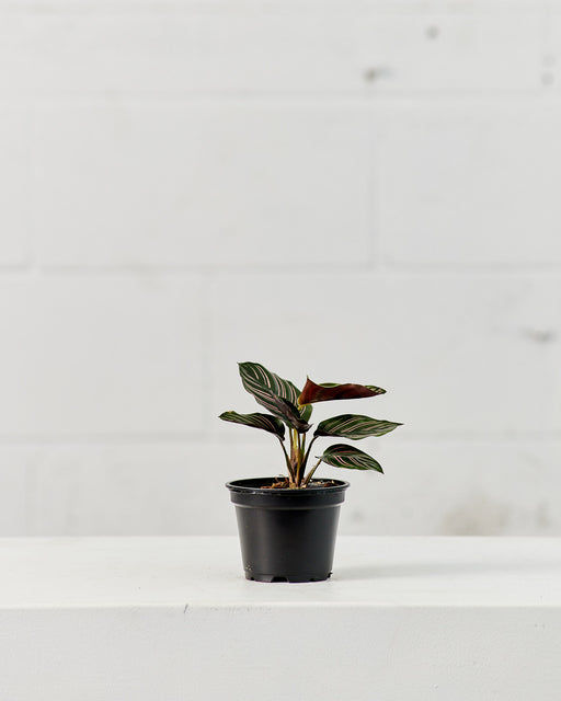 "CALATHEA ORNATA 4"" Grower Pot"
