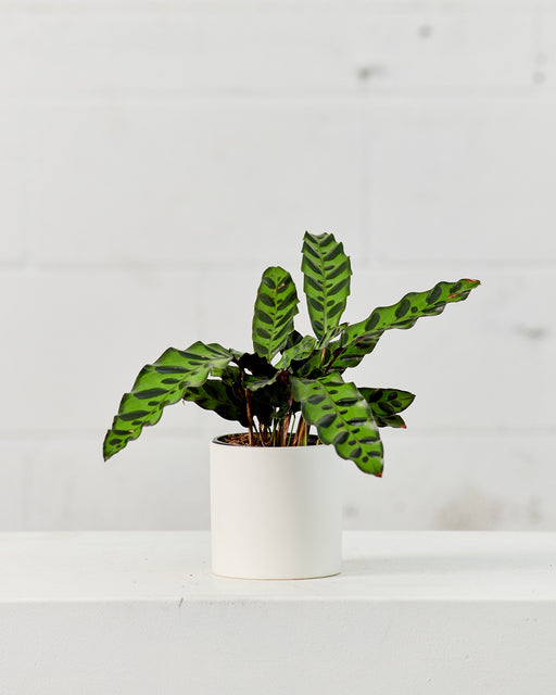 "CALATHEA LANCIFOLIA 'RATTLE SNAKE' 4"" Grower Pot"