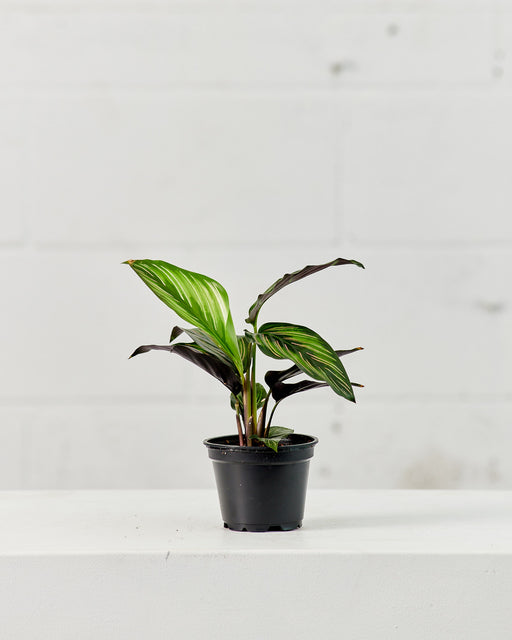"CALATHEA BEAUTY STAR 4"" Grower Pot"