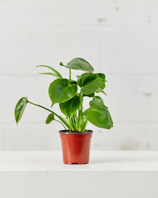 "MONSTERA 4"" Grower Pot"